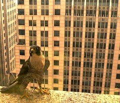 Peregrine Falcon Female - Rahn