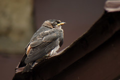 cliff swallow nestling