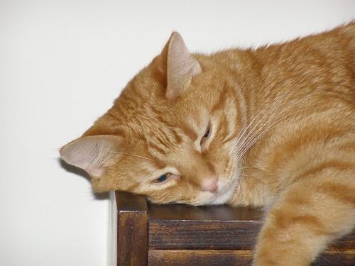 Stimpy lounging on the bookshelf