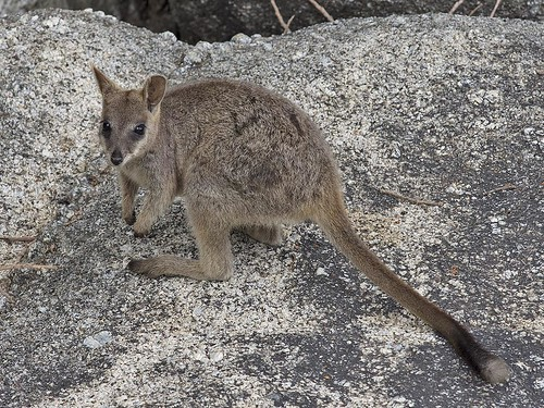 """Mareeba Rock-wallaby - Granite Gorge, QLD • <a style=""""font-size:0.8em;"""" href=""""http://www.flickr.com/photos/95790921@N07/30913863174/"""" target=""""_blank"""">View on Flickr</a>"""