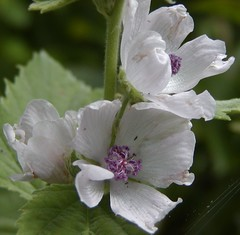 Marshmallow - Lægestokrose (Althaea officinalis)