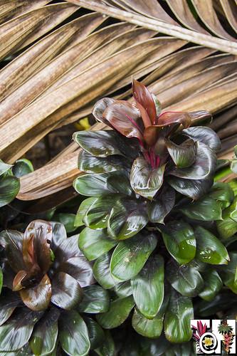 Ti plant (Cordyline fruticosa)