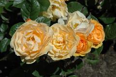 Rose 'Julia Child'