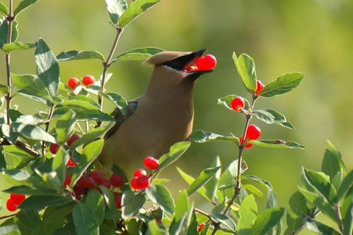Cedar Waxwing eats Honeysuckle Berries by Tom LeBlanc