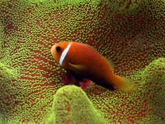 Clown Fish...Nemo