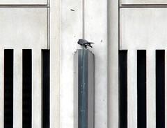 Hercules Plucks a Pigeon