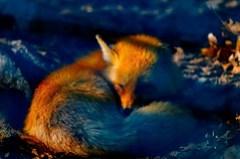 Firefox by Garrett LeSage