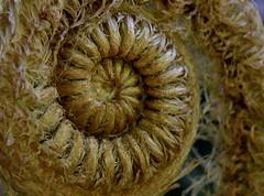Image of a koru