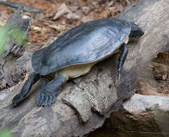 """IMG_4915: Big Long Turtle • <a style=""""font-size:0.8em;"""" href=""""http://www.flickr.com/photos/54494252@N00/8707505/"""" target=""""_blank"""">View on Flickr</a>"""