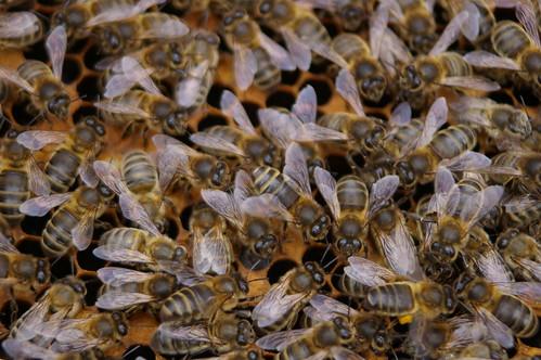 Пчеле у кошници (аутор Max xx)