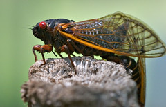 "CRW_2585: Cicada on Wooden Post • <a style=""font-size:0.8em;"" href=""http://www.flickr.com/photos/54494252@N00/9986539/"" target=""_blank"">View on Flickr</a>"