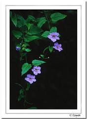 Flower - Trumpet Vine