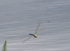 One Dragonfly and three Damselflies in flight