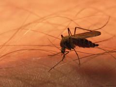 Mücke beim Aussaugen