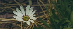 African Daisy 1