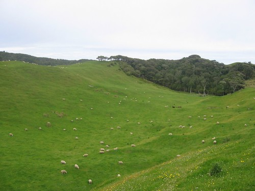 Sheep near Wharariki