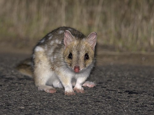 """Eastern Quoll - Bruny Island, Tasmania • <a style=""""font-size:0.8em;"""" href=""""http://www.flickr.com/photos/95790921@N07/32515277191/"""" target=""""_blank"""">View on Flickr</a>"""