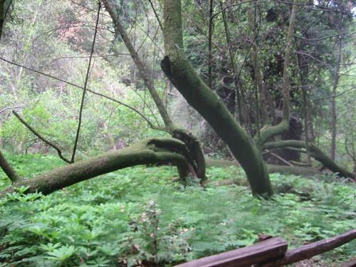 Per començar - foto d\'arbres que vaig sacar a Muir Woods, selva protegida que es troba al nord de San Francisco a Califòrnia