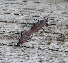 Box Elder Bugs...hugging