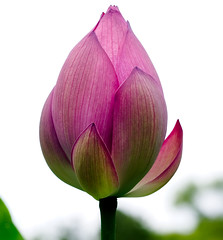 "IMG_0326: Lotus Blossom • <a style=""font-size:0.8em;"" href=""http://www.flickr.com/photos/54494252@N00/198789168/"" target=""_blank"">View on Flickr</a>"