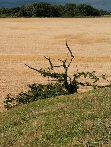 vejrhoj-dead-tree
