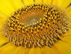 Sunflower Center Macro