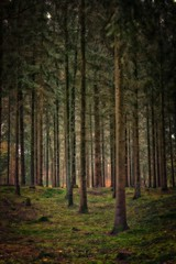 Sloping pinewood forest
