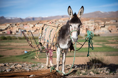 Donkey, Imilchil to Dades Gorge