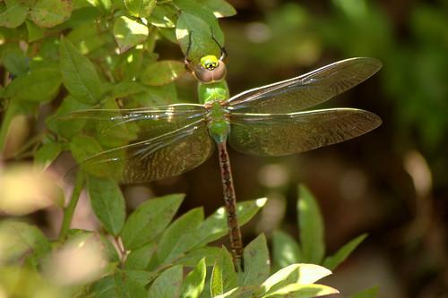 Green Darner
