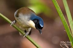 Sojkovec modrotemenný (Dryonastes/Garrulax courtoisi)