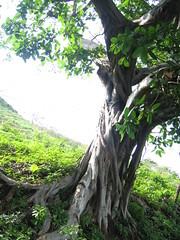 afternoon banyan