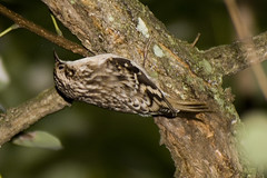 Brown Creeper by Tom LeBlanc