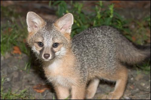 Gray Fox - 0268 by PSer.