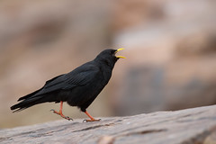 Alpine Chough | alpkaja | Pyrrhocorax graculus