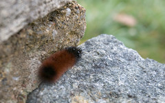 """CRW_4533: Woolly Bear Caterpillar • <a style=""""font-size:0.8em;"""" href=""""http://www.flickr.com/photos/54494252@N00/8705232/"""" target=""""_blank"""">View on Flickr</a>"""
