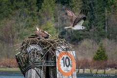 Ospreys at Grant Narrows