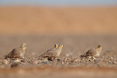 Crowned Sandgrouse | kronflyghöna | Pterocles coronatus