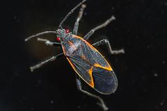 Elder box bug
