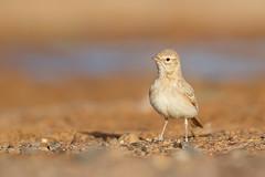 Bar-tailed Lark | sandökenlärka | Ammomanes cinctura