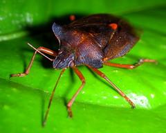 Red bedbug