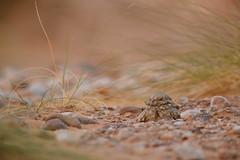 Egyptian Nightjar | ökennattskärra | Caprimulgus aegyptius