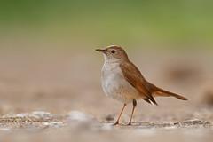 Common Nightingale   sydnäktergal   Luscinia megarhynchos