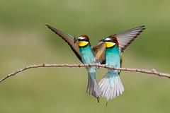 European Bee-eater | biätare | Merops apiaster