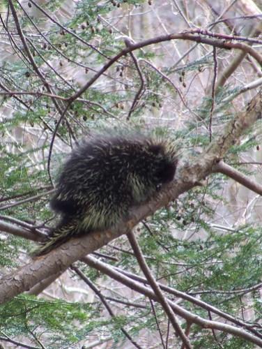 porcupine in hemlock