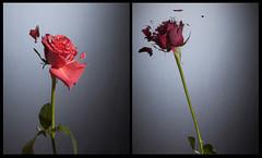 liquid nitrogen roses