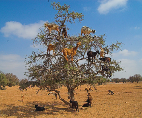 Goats scouring for nuts up in the Moroccan Argan tree...the Moroccan tree of life