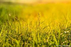 green grass in morning