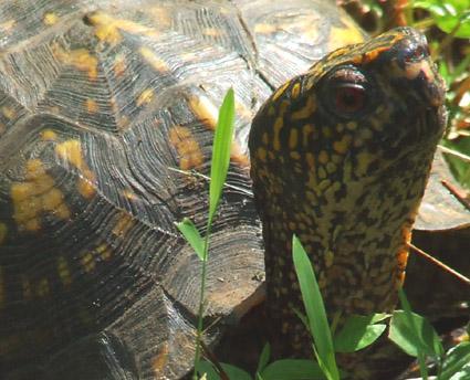 box turtle 1