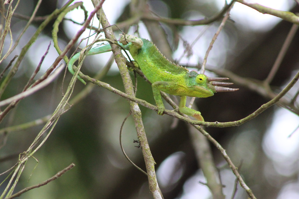 Wild Male Jackson Chameleon by kahunapulej, on Flickr