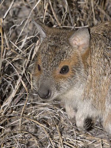 "Spectacled Hare-wallaby - Lagorchestes conspicillatus - Epping Forest NP, QLD • <a style=""font-size:0.8em;"" href=""http://www.flickr.com/photos/95790921@N07/43019579424/"" target=""_blank"">View on Flickr</a>"